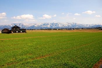 青麦と残雪の山