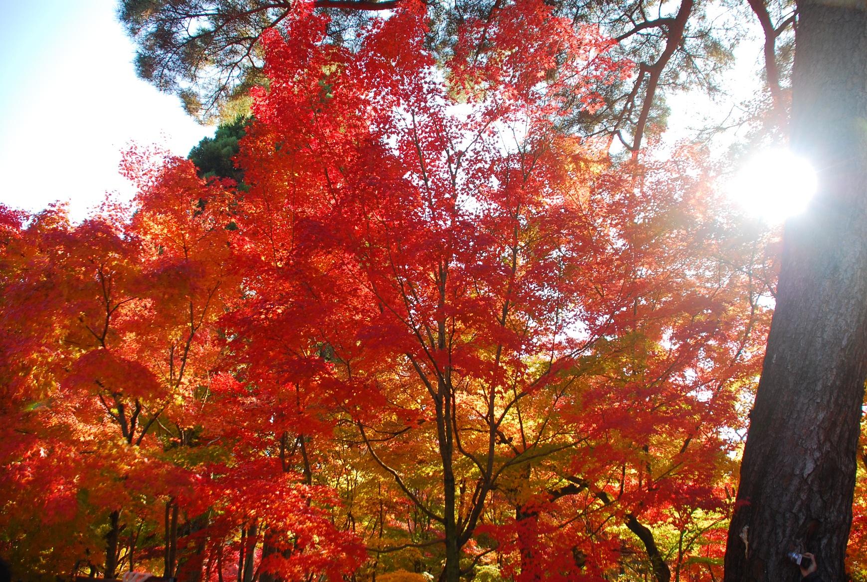 永観堂の日差しの中の紅葉