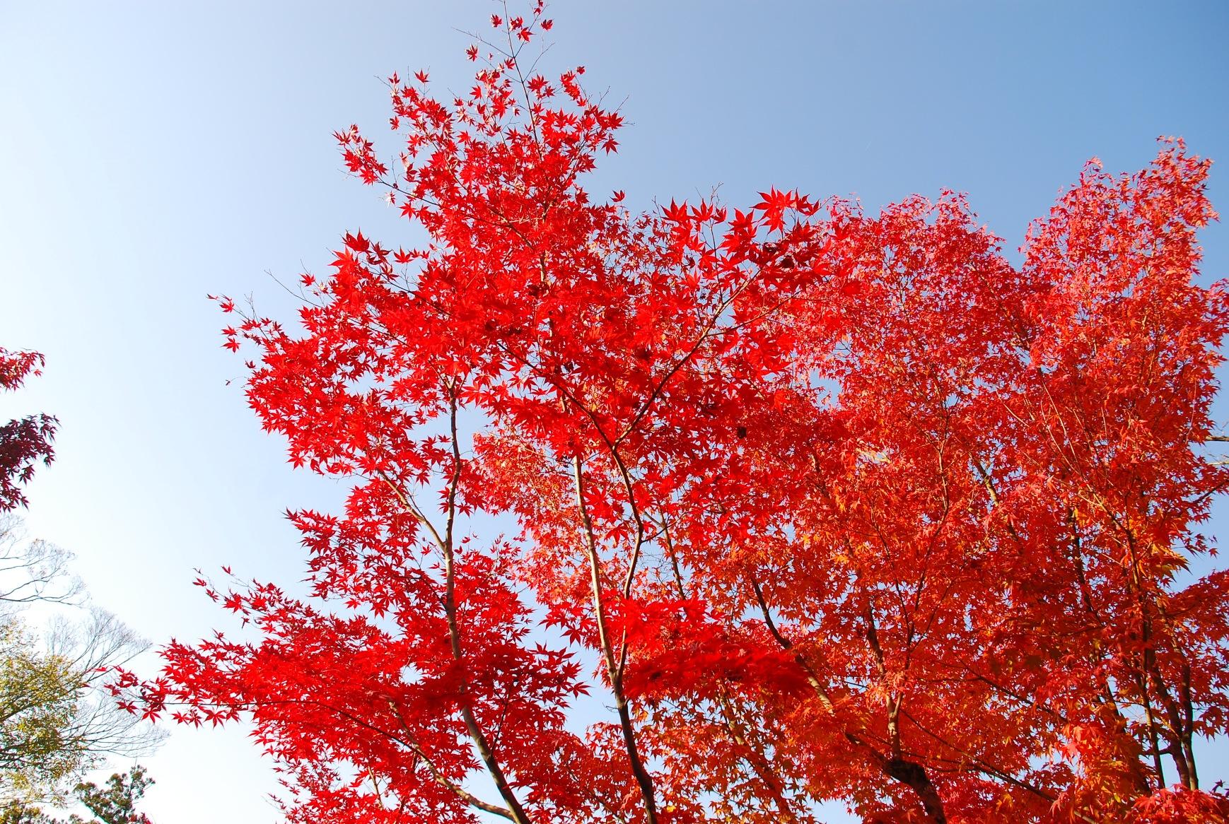 空に突き上げる紅葉