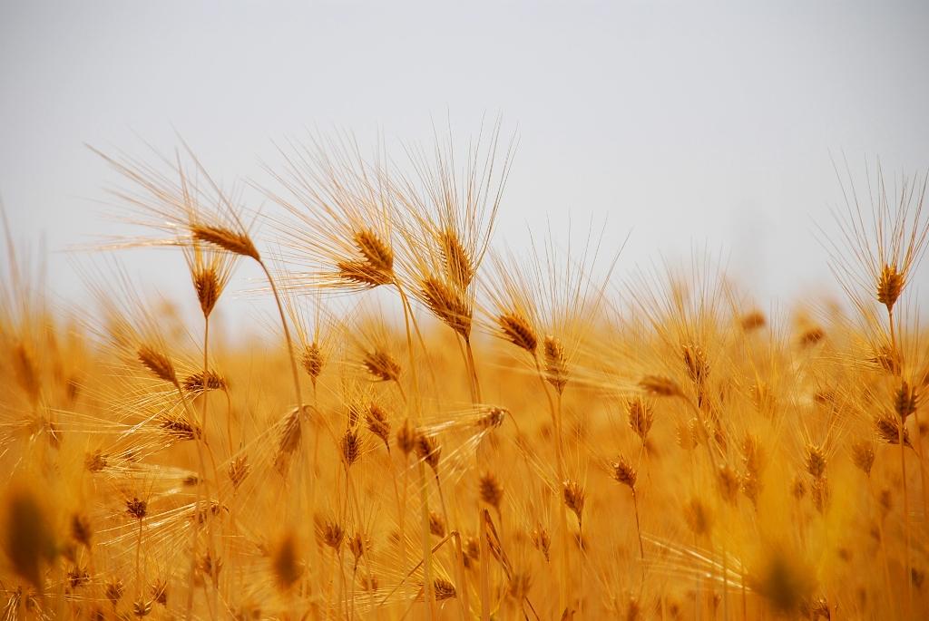 麦たちのサンバ