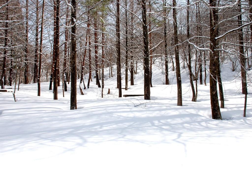新雪の木々